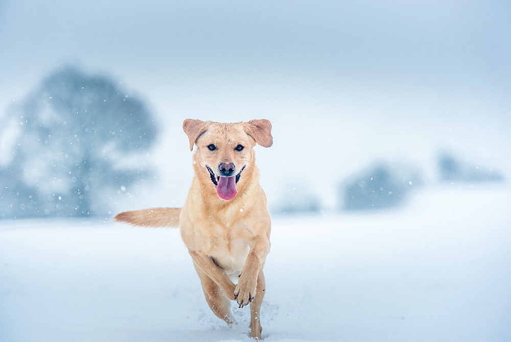 Golden Labrador in the snow, United Kingdom, Europe - 1199-484