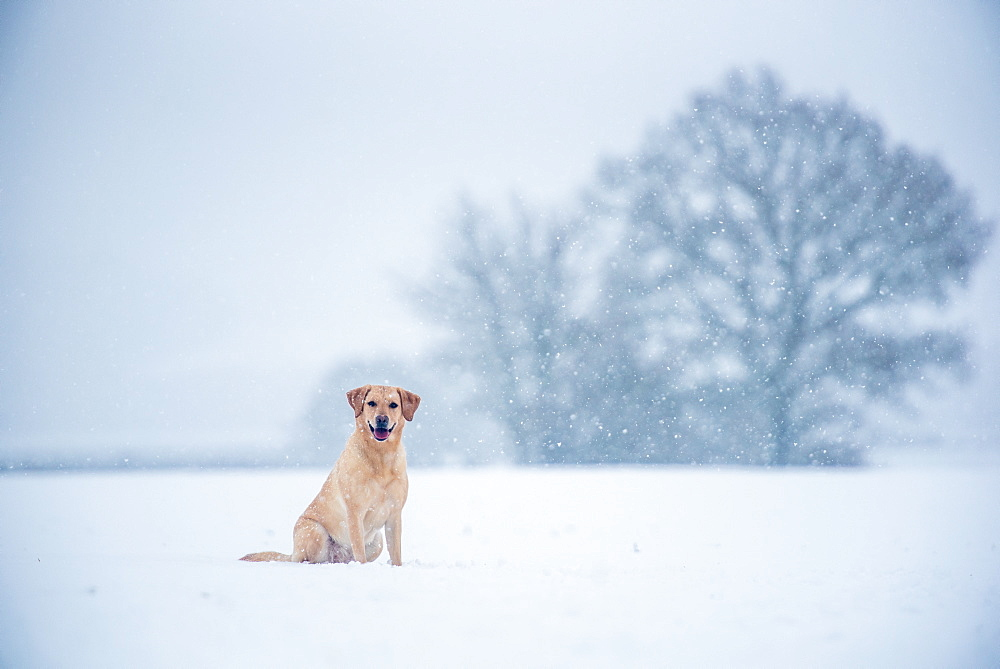 Golden Labrador in the snow, United Kingdom, Europe - 1199-485