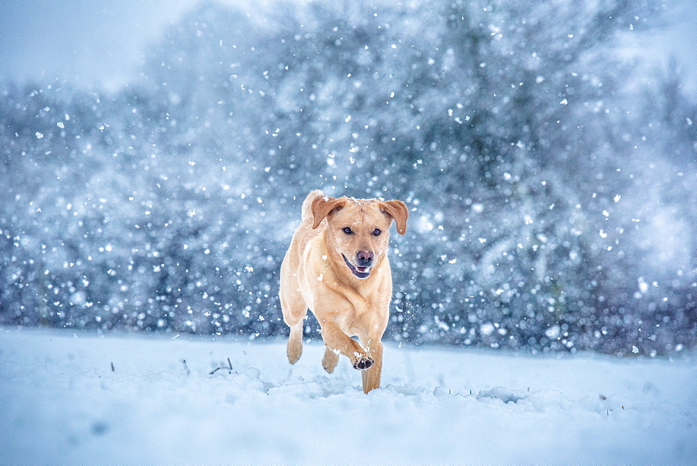 Golden Labrador in the snow, United Kingdom, Europe - 1199-486