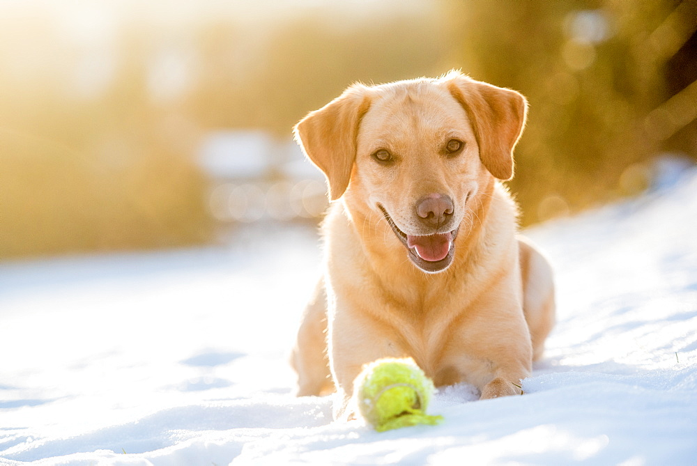 Golden Labrador in the snow with a tennis ball, United Kingdom, Europe - 1199-487