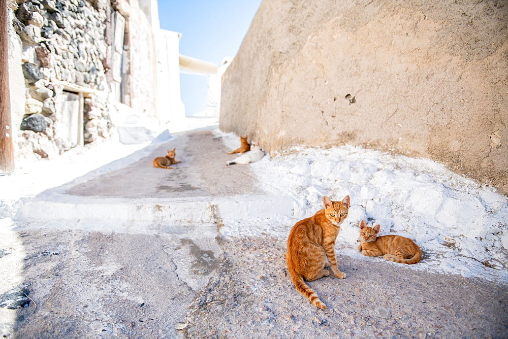 Cats inthe street, Santorini, Cyclades, Aegean Islands, Greek Islands, Greece, Europe