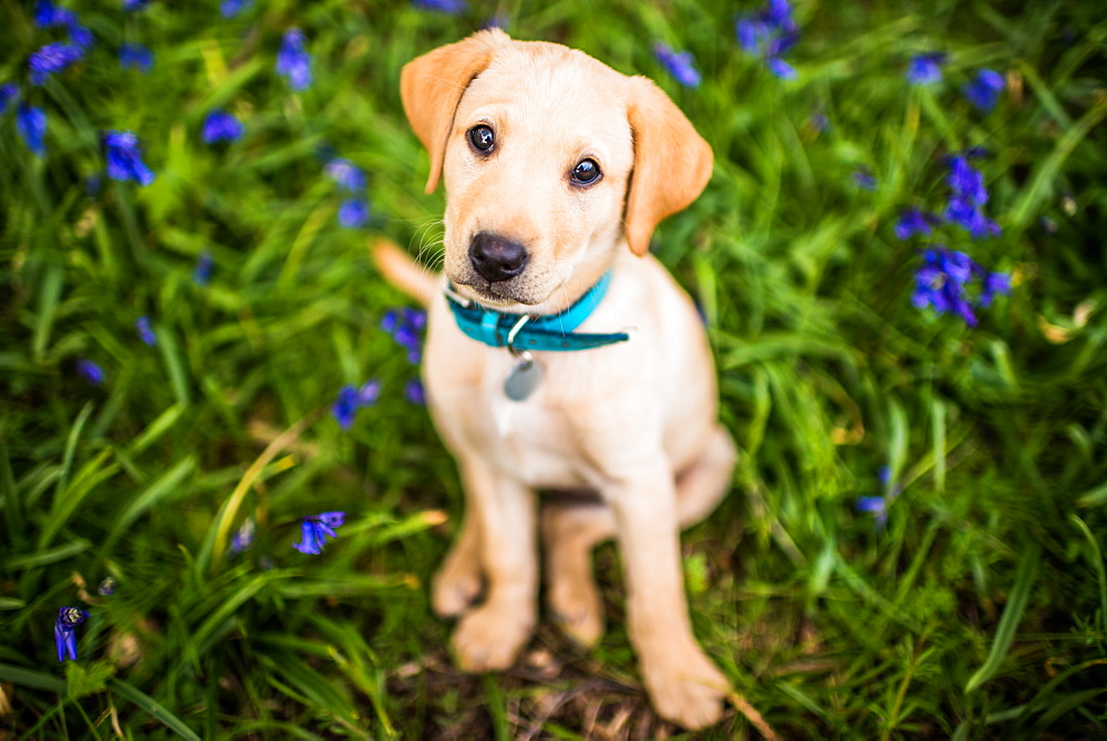 Golden Labrador puppy with blue collar sitting in the bluebells, United Kingdom, Europe - 1199-504