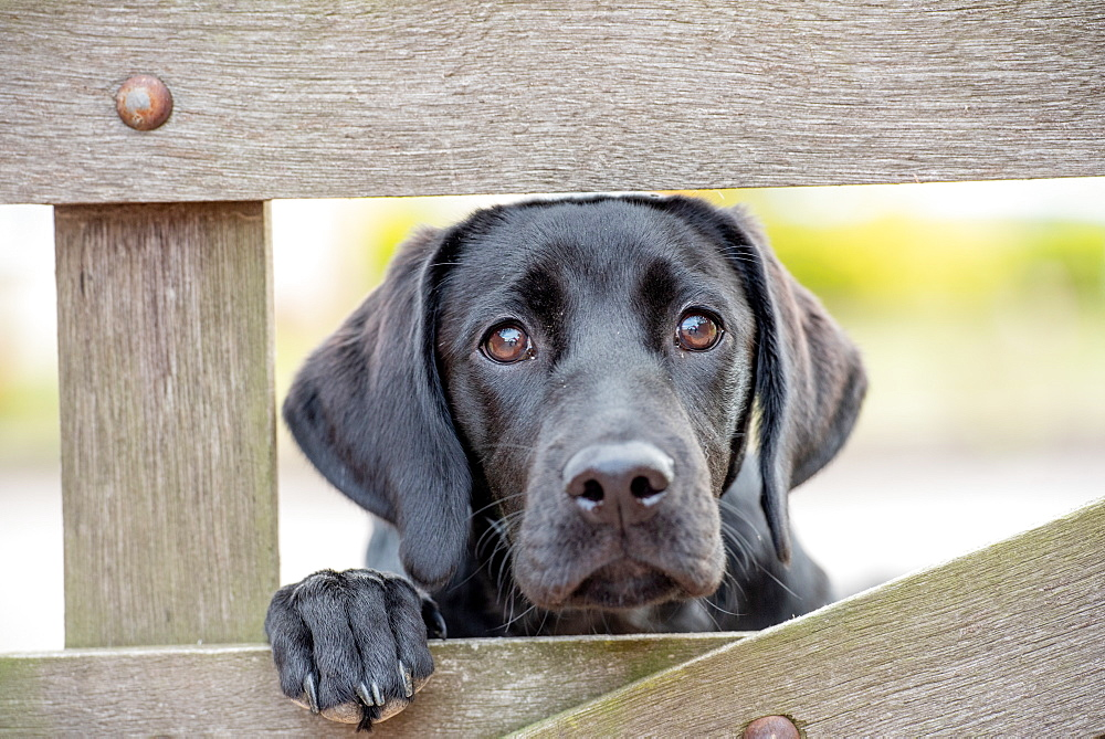 Black Labrador puppy looking through a gate, United Kingdom, Europe - 1199-505
