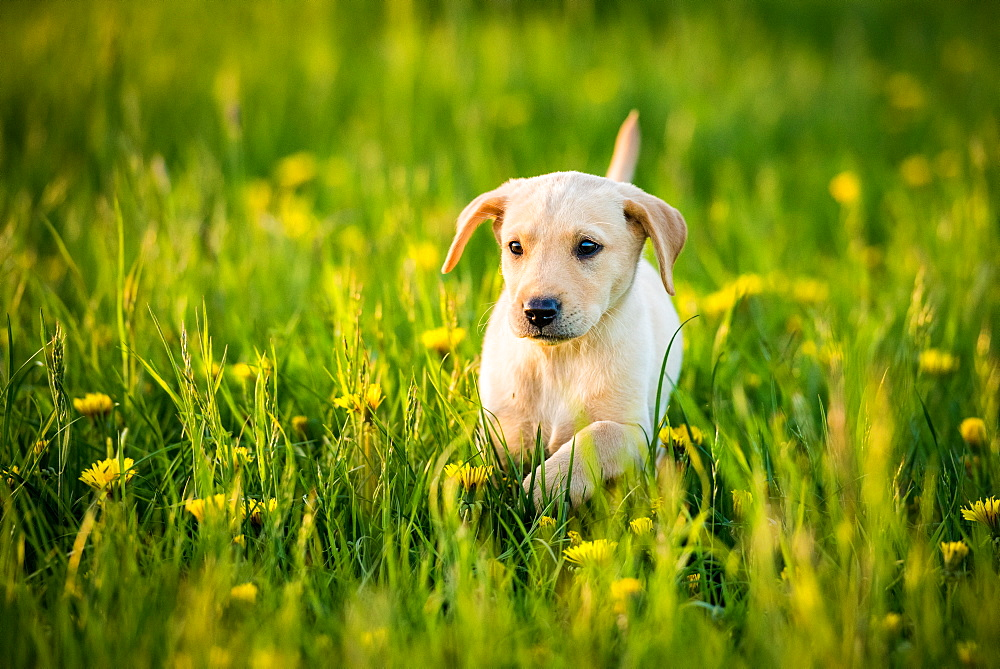 Golden Labrador Puppy running through a field of daisies, United Kingdom, Europe