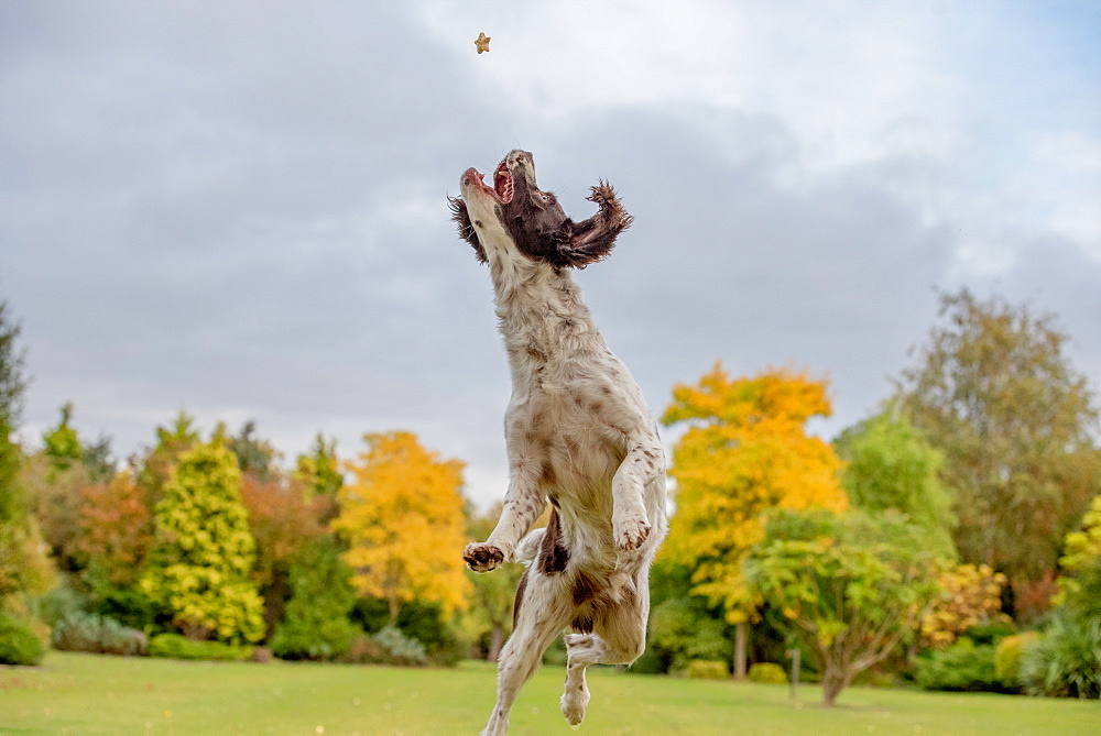 Springer Spaniel catching a treat in mid air, United Kingdom, Europe - 1199-510