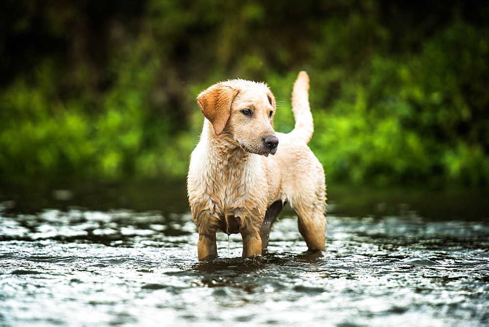 Golden Labrador standing in a shallow river looking away from the camera, United Kingdom, Europe - 1199-513
