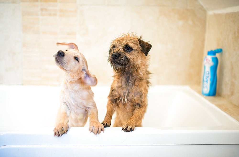 Golden Labrador puppy in the bath with a Border Terrier, United Kingdom, Europe - 1199-515