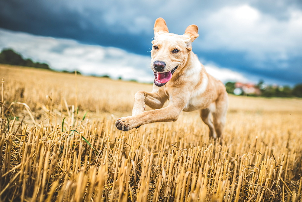 Golden Labrador running through a field of wheat, United Kingdom, Europe - 1199-519
