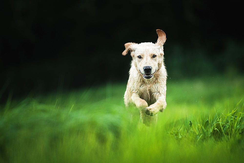 Golden Labrador running through a field