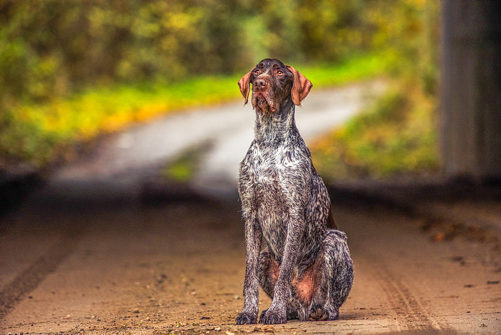 Portrait of a Pointer sitting in the afternoon sunlight, United Kingdom, Europe