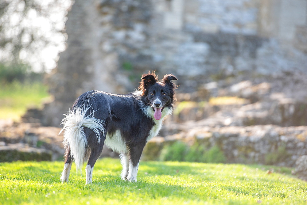 Collie standing in the afternoon sunlight, United Kingdom, Europe
