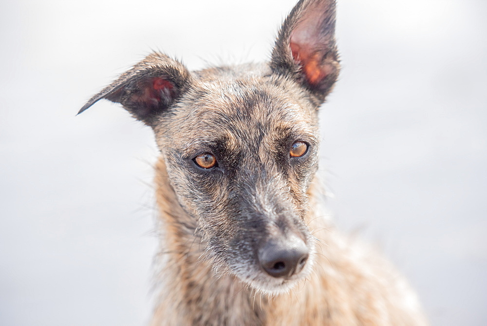 Portrait of lurcher, United Kingdom, Europe - 1199-529