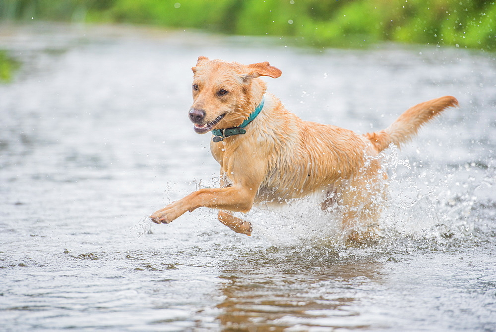 Young Labrador running through a river splashing, United Kingdom, Europe - 1199-530