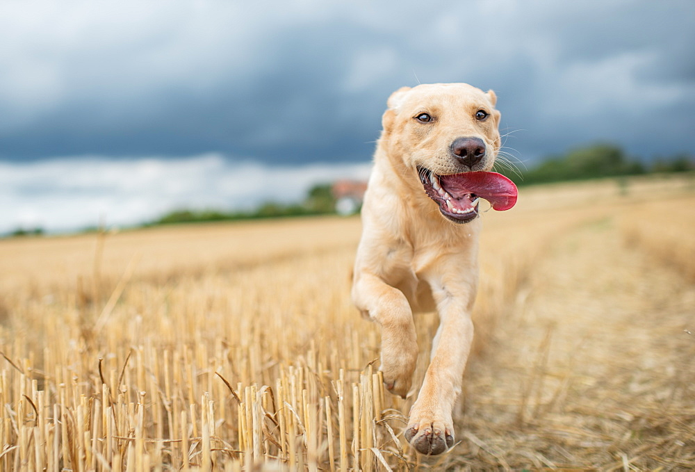 Young Labrador running through a wheat field, United Kingdom, Europe