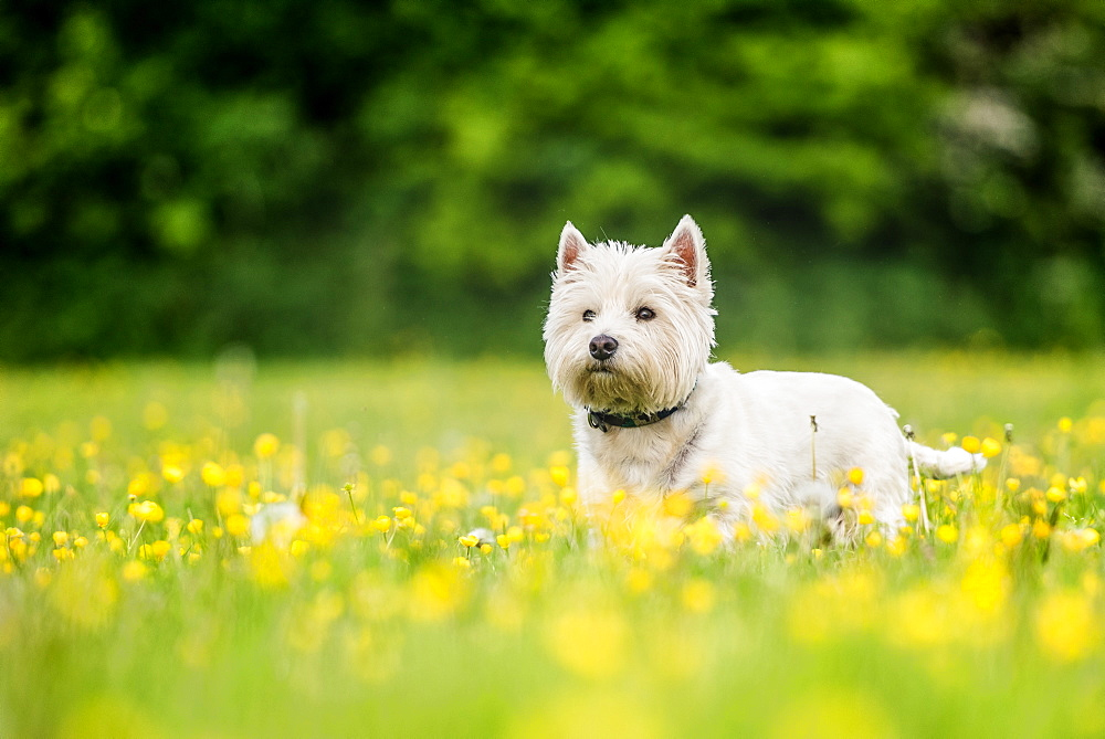 West Highland Terrier standing in a field of yellow flowers, United Kingdom, Europe - 1199-545
