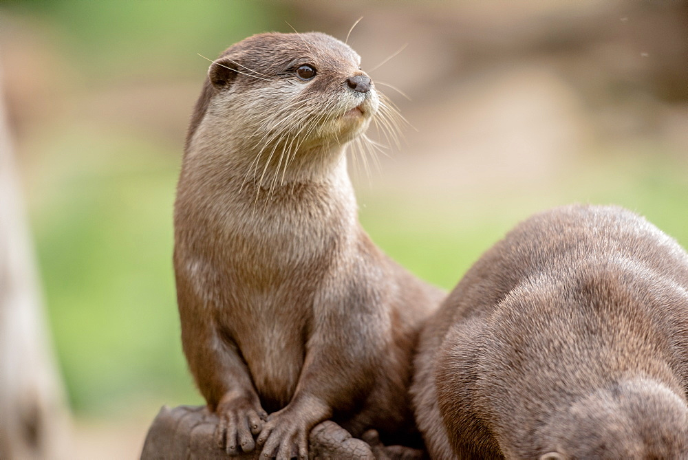 Otter, United Kingdom, Europe - 1199-551