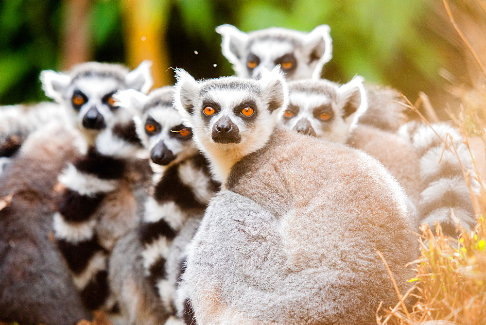 Ring-tailed lemurs, Madagascar, Africa - 1199-552