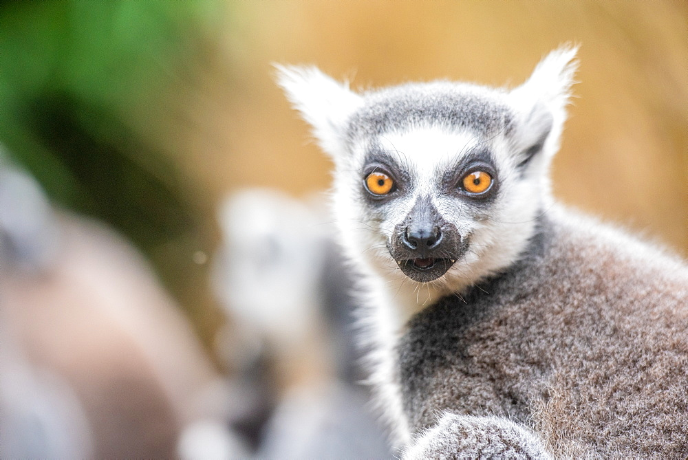 Ring-tailed lemurs, Madagascar, Africa - 1199-553