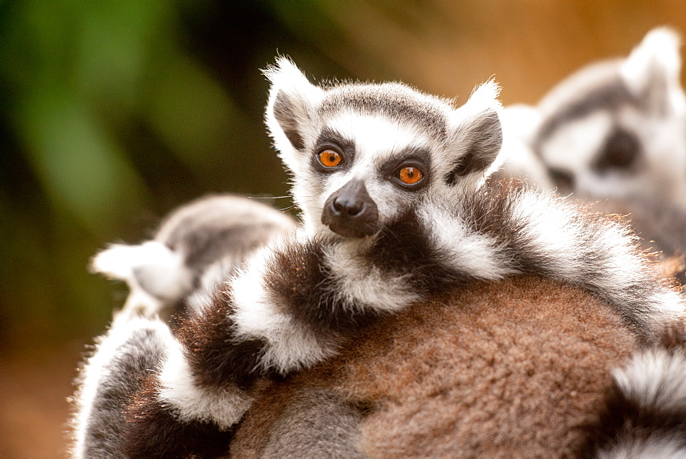 Ring-tailed lemurs in captivity, United Kingdom, Europe - 1199-554