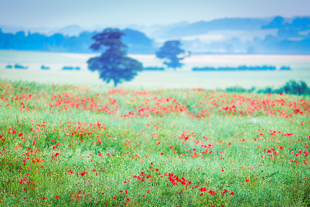 Poppy fields, Deddington, Oxfordshire, England, United Kingdom, Europe