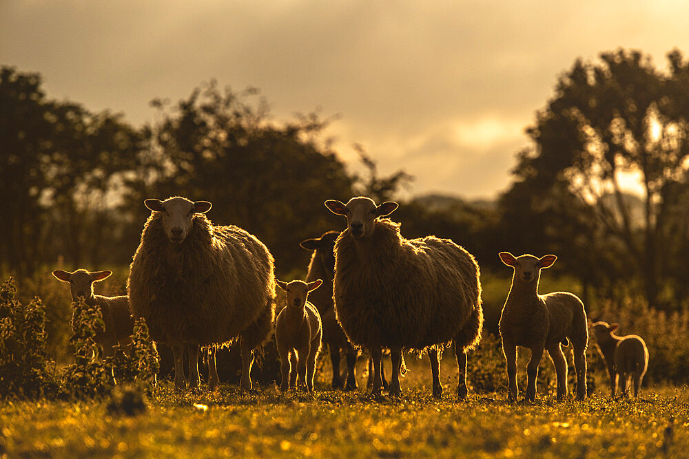Back-lit silhouettes of Sheep and Spring Lambs, United Kingdom, Europe - 1199-594
