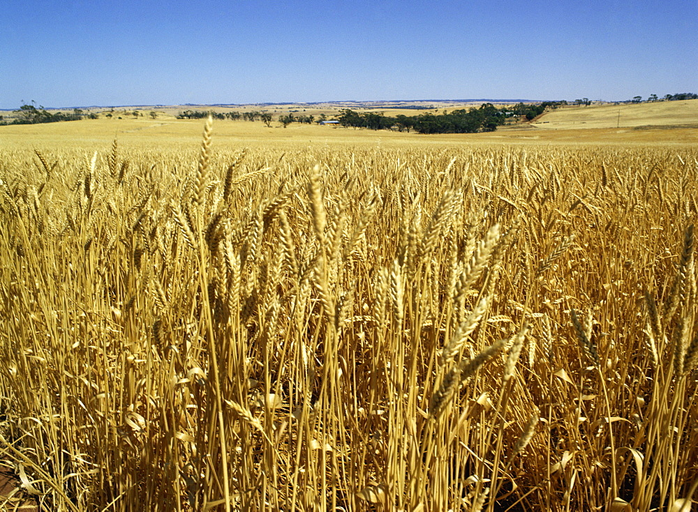 Vast fields of ripening wheat, near Northam, West Australia, Australia, Pacific - 120-1919