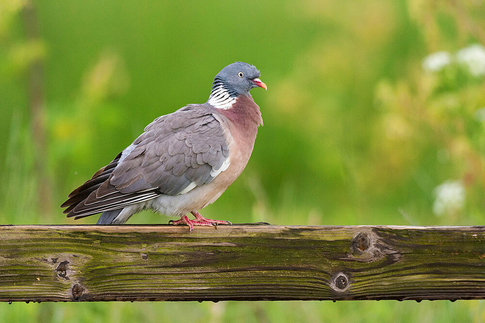 Wood pigeon (Columba palumbus), perched on fence, Kent, England, United Kingdom, Europe - 1200-106