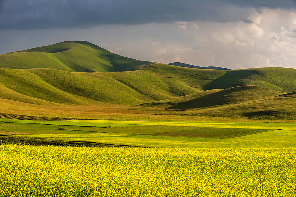 Fields of flowering lentils on the Piano Grande, Monti Sibillini National Park, Perigua District, Umbria, Italy, Europe - 1200-125