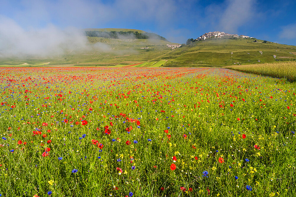 View of wildflower meadow and Castelluccio di Norcia, Monte Sibillini Mountains, Umbria, Italy, Europe