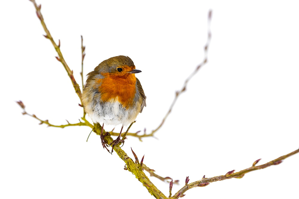 European robin (Erithacus rubecula), in winter, Kent, England, United Kingdom, Europe