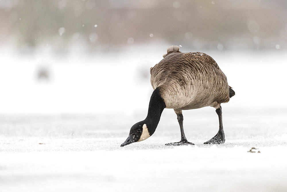 Canada goose (Branta canadensis) on snow covered frozen lake, Kent, England, United Kingdom, Europe