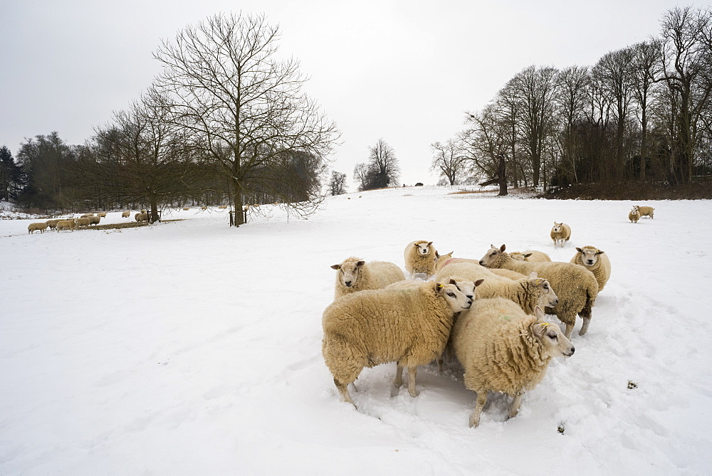 Sheep in snow covered field, Kent, England, United Kingdom, Europe
