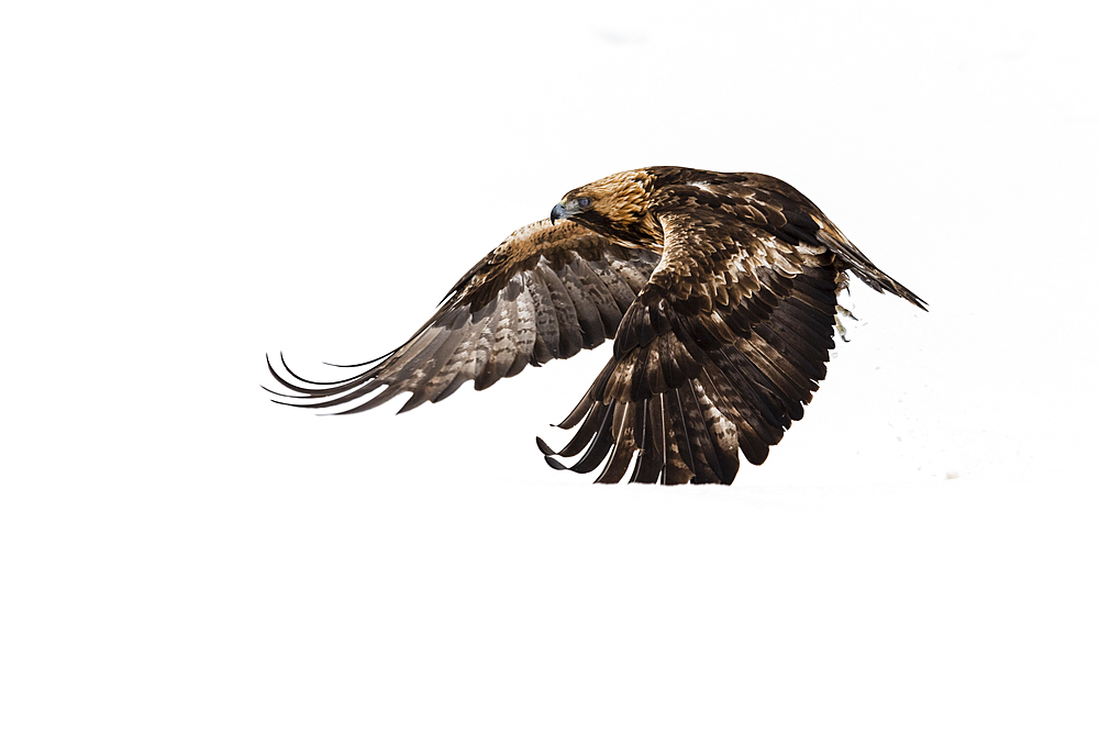 Golden eagle (Aquila chrysaetos), in flight, Kuusamo, Finland, Europe