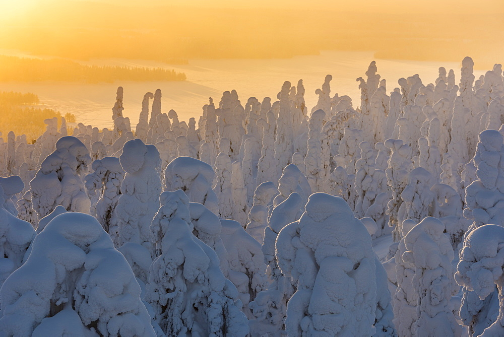 Snow covered trees (Tykky), at sunrise, Ruka, Kuusamo, Finland, Europe