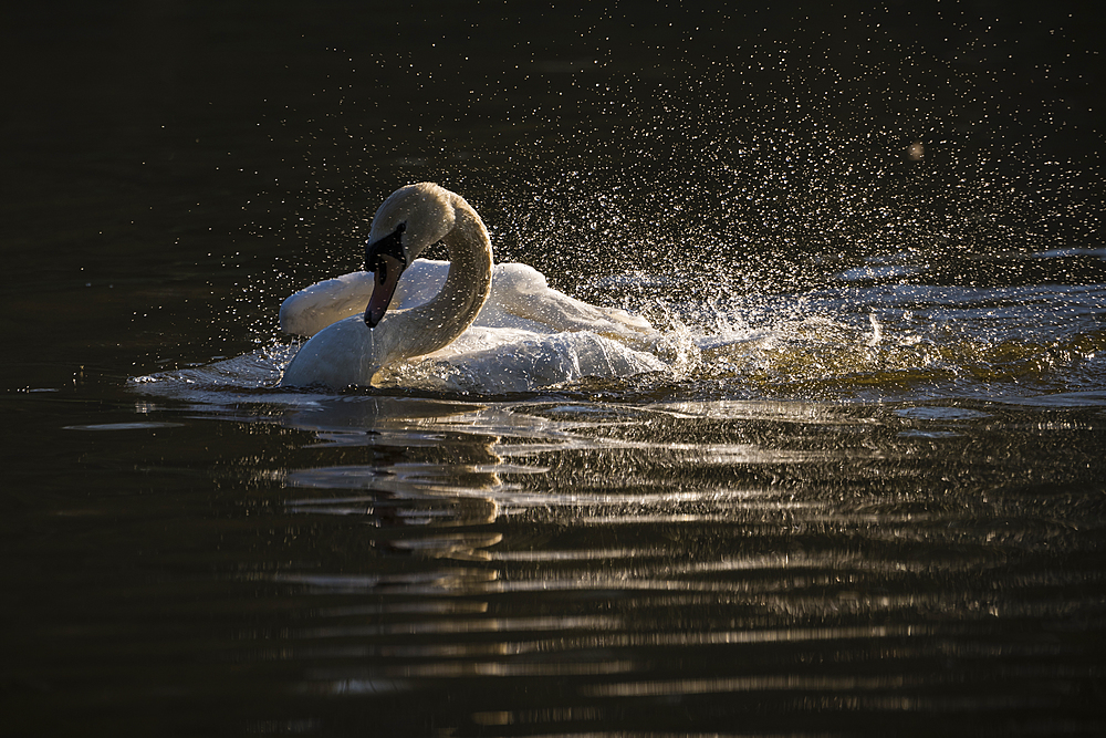Mute swan (Cygnus olor) bathing, Kent, England, United Kingdom, Europe
