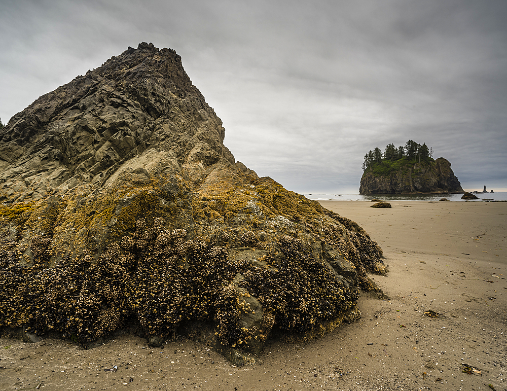 Rock covered in barnacles, First Beach at dawn, Olympic National Park, UNESCO World Heritage Site, Washington State, United States of America, North America
