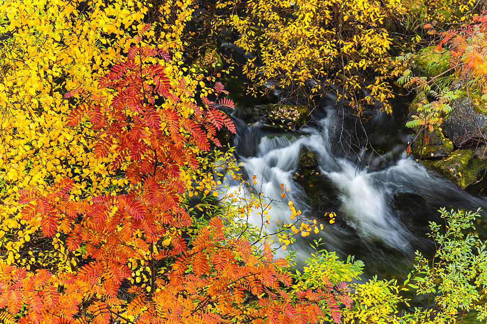 Mountain ash (Sorbus aucuparia) and silver birch {Betula pendula), and fast flowing stream, autumn colour, Ruska, Muonio, Lapland, Finland, Europe - 1200-295