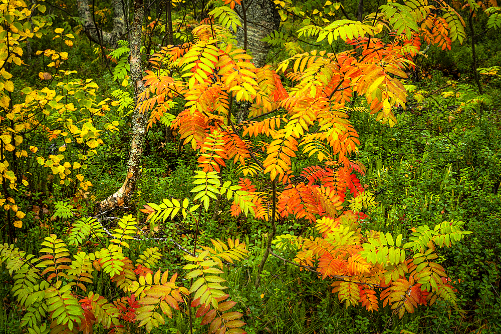 Rowan tree (Sorbus aucuparia) in autumn colour, Ruska, Muonio, Lapland, Finland, Europe