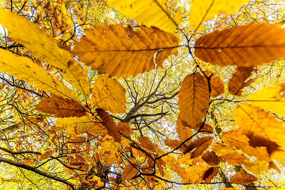 Sweet chestnut (Castanea sativa), leaves, and common oak tree (Quercus robur), autumn colour, Kent, England, United Kingdom, Europe