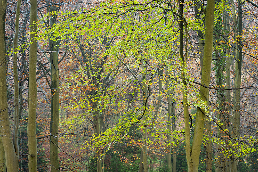 Common beech (Fagus sylvatica) trees, autumn colour, King's Wood, Challock, Kent, England, United Kingdom, Europe