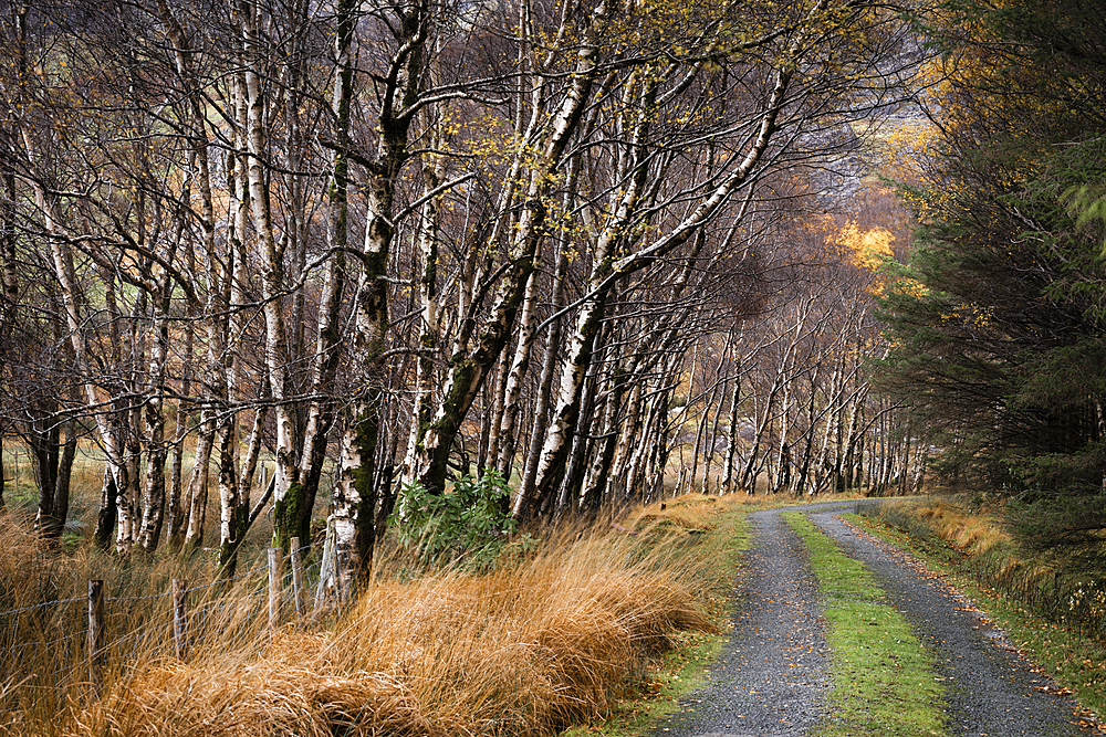 Silver birch (Betula pendula) avenue and track in autumn, The Black Valley, Killarney National Park, County Kerry, Munster, Republic of Ireland, Europe - 1200-332