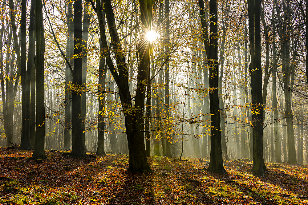 Common beech (Fagus sylvatica) trees, morning sunlight, autumn colour, King's Wood, Challock, Kent, England, United Kingdom, Europe