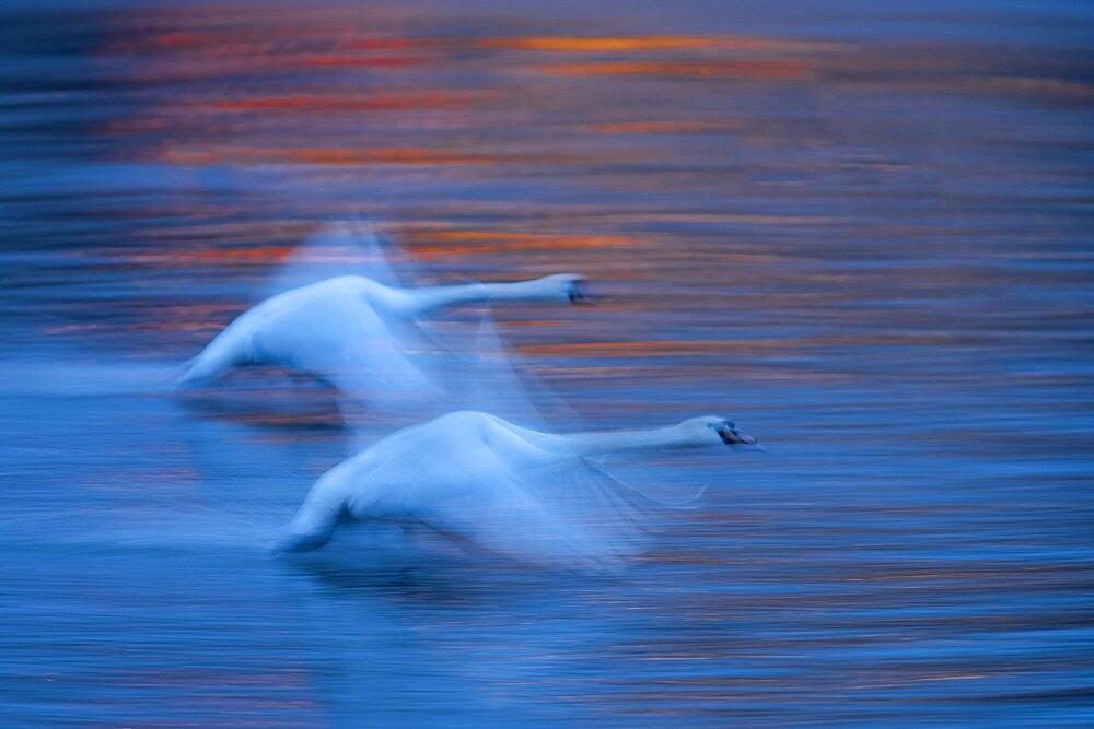 Mute swan (Cygnus olor), at dawn, in flight over the River Vltava, Prague, Czech Republic - 1200-379