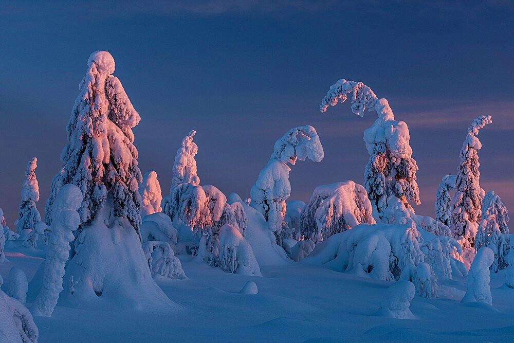 Snow covered winter landscape at sunset, tykky, Kuntivaara Fell, Kuusamo, Finland. - 1200-391