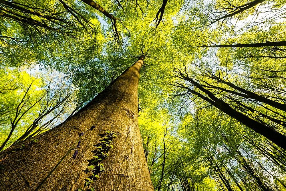 Trunks and canopy of beech trees (Fagus sylvatica), kent, England - 1200-397