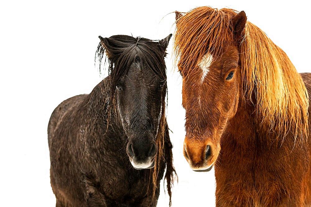 Icelandic horse (Equus ferus caballus), Gullfoss, Iceland - 1200-398