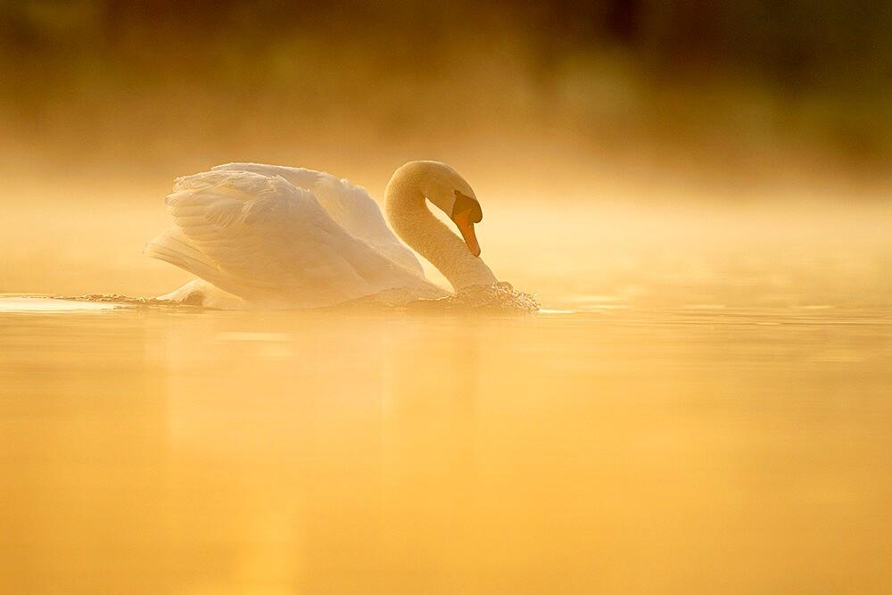 Mute swan (Cygnus olor) at sunrise, territorial behaviour, Kent, England. - 1200-399