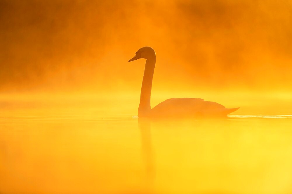 Mute swan (Cygnus olor) at sunrise, Kent, England. - 1200-401