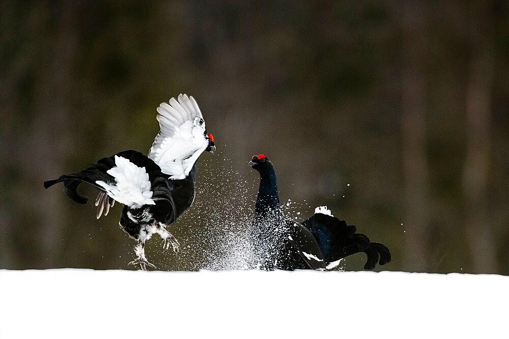 Black grouse (Lyrurus tetrix), fighting, territorial behaviour, Kuusamo, Finland - 1200-402