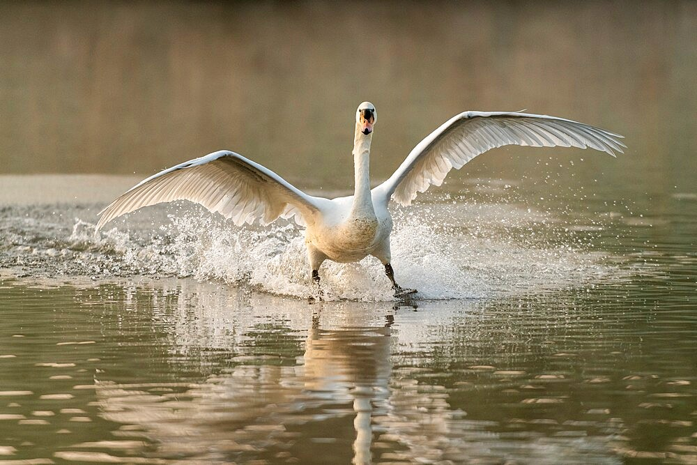 Mute swan (Cygnus olor) landing, kent, England - 1200-403